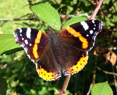 """Red Admiral Butterfly... • <a style=""""font-size:0.8em;"""" href=""""http://www.flickr.com/photos/57024565@N00/9775742026/"""" target=""""_blank"""">View on Flickr</a>"""