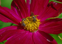 Cosmo and Visitors (thoeflich) Tags: flower garden bees cosmos