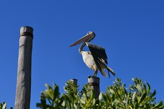 Mr Percival (Suse2906) Tags: sky sculpture beach pelican publicart