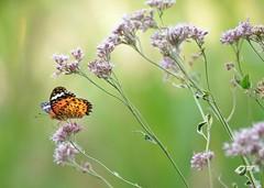 (myu-myu) Tags: flower nature japan butterfly insect nikon ngc explore mygarden    argyreushyperbius  d300s  aiafsnikkor300mmf4difed eupatoriumfortuneivariegata