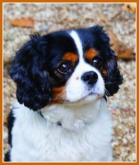 Cavalier-King-Charles-Spaniel- Tricolor (Karabelso) Tags: dog animal sony porträt hund spaniel tier cavalierkingcharles