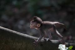 (sweethardt) Tags: travel bali baby nature forest indonesia monkey photographer sacred habitat sanctuary ubud monkeyforest jenniferhardt sweethardtphotography 2013