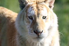 Golden days (Fosseyh) Tags: cute face animal animals cat denmark zoo feline sweet tiger bigcat tigers roar bengal bigcats pur purrfect zoopark bengaltiger goldentabby savethetigers savethetiger goldentiger