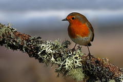 Robin (Gavin MacRae) Tags: bird nature robin scotland nikon chat erithacusrubecula wildlife europeanrobin scottishwildlife highlandsofscotland scottishnature highlandwildlife highlandnature