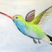 hummingbird watercolor study  |  www.smallhandsbigart.com