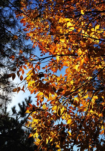 Golden leaves - the gifts from Sun ?