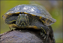 looking a turtle in the eye (kimbenson45) Tags: nature animal turtle tortoise amphibian labreatarpits