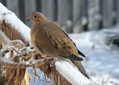 Icy-tailed Mourning Dove (praja38) Tags: life morning winter wild snow ontario canada storm cold bird ice wil nature animal backyard dove wildlife tail beak feathers feather canadian perch wilderness mourningdove icy chill capricorn bowmanville tailfeathers turtledove