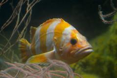 Flag rockfish (afagen) Tags: california fish aquarium monterey montereybayaquarium rockfish montereypeninsula flagrockfish sebastesrubrivinctus