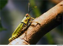 Heuschrecke   /   Grasshopper (to.wi) Tags: macro insect grasshopper makro insekt wilhelma heuschrecke grashüpfer macrolife towi