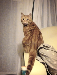 thinking about it.... (buckaroo kid) Tags: uk london cat ginger with woody curtains naughtyboy a hrefhttpwwwpixsycomprotected pixsya
