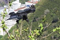 Carroero en Ro (Horrido!!! (Adolfo Montes)) Tags: bird birds brasil riodejaneiro aves ave vulture blackvulture coragypsatratus carroero