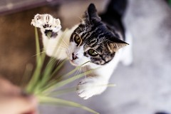 Time To Strike! (Photos By Dlee) Tags: pet blur nature grass animal cat canon action bokeh tabby fast naturallight sharp fullframe painful claws highiso 6d canon6d sigma50mm14 photosbydlee photosbydlee13