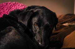 Hunter-035 (VinceFL) Tags: longexposure dogs blacklab blackpets manfrottotripod afsdxmicronikkor85mmf35gedvr nye2013 hunterblacklab vinceflnikond7000orlando