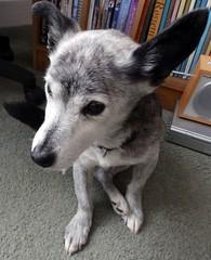 Susie sitting pretty (pretty awkwardly!) (Cardedfolderol) Tags: dog pet cute animal fur mammal canine mongrel brindled whippetcross