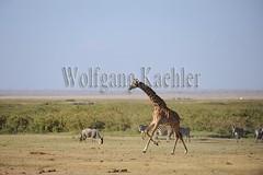 10070813 (wolfgangkaehler) Tags: africa kenya african wildlife running giraffe wildebeest amboseli kenyan eastafrica galloping eastafrican giraffacamelopardalistippelskirchi masaigiraffe burchellszebra wildebeests amboselinationalpark burchellszebras amboselikenya burchellszebraequusquagga amboselinatlparkkenya