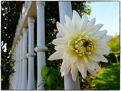 (celicom) Tags: naturaleza flor dalia