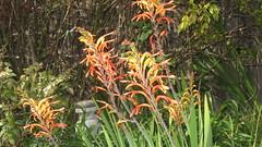 IMG_8078 (ceztom) Tags: rose jasmine bougainvillea daylily tillier barbarakarst