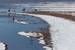(zhouyousifang) Tags: china winter snow bird cranes  yunnan   2014    blackneckedcrane