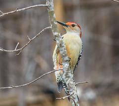 Posing for me (ScreaminScott) Tags: bird woodpecker redbelliedwoodpecker avian