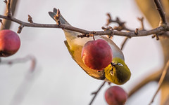 A taste of crab apple (Thomas J. Walsh) Tags: winter bird apple upsidedown feeding silvereye crabapple zosteropslateralis