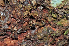 Costa Rican Harvestmen (Cosmetidae) (Mr. Phidippus) Tags: macro nature rainforest costarica jungle arachnids arthropods harvestmen osapeninsula opiliones nikkor50mmf18d sierperiver cosmetidae nikond5000