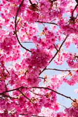 Sakura (Yoshikazu TAKADA) Tags: japan tokyo cherryblossom sakura kotoku kibapark d7100 tamronsp70300mmf456