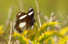 DSC07559. Sommerfugl.  Cassia Lodge, Kampala, Uganda. (Berit Christophersen) Tags: uganda sommerfugl sonyalpha
