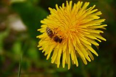 Staubbad (Harald52) Tags: tiere natur pflanze blüte insekten biene frühling löwenzahn