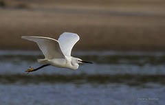 Ehren (JKmedia) Tags: white bird nature canon river coast flying inflight spring wings sand wildlife feathers bank estuary shore fisher lowtide flapping airborne egret wader ehren southdevon erme ef100400mmf4556lisusm canoneos7d jkmedia boultonphotography