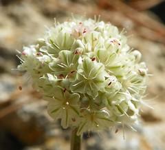 Eriogonum ovalifolium var. nivale 100_0931 (sierrarainshadow) Tags: eriogonum var ovalifolium nivale