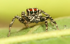 Jumping Spider (karthik Nature photography) Tags: color macro nature animals closeup forest garden photography spider spiders wildlife jumpingspider macrophotography salticidae macroworld animalworld spiderworld insectphotography macrolife malejumpingspider colorfuljumpingspider beautifuljumpingspider jumpingspidersinindia nakaphocom nakapho