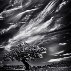 as a lone fighter (fifich@t - (sick) 2016 = Annus Horribilis) Tags: life bw tree clouds landscape loneliness darkness symbol victory squareformat strength drama dramaticsky normandy struggle lonelytree carr spectacularsky nikond300 stealingshadows nikkor1685vr dramaticmood blackisthecolour fifichat1 frs niksoftwaresep2 fificht frs