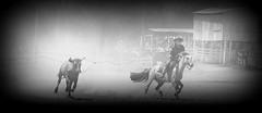 Metendo lao (Eduardo Amorim) Tags: brazil horses horse southamerica brasil caballo cheval caballos lazo kuh cow rind cattle cows ox ganado cavalos oxen mucca pferde cavalli cavallo cavalo gauchos pferd riograndedosul pampa bois khe vache vaca vacas campanha brsil vaches boi chevaux gaucho buey  lasso amricadosul mucche lao fronteira boeuf vieh gacho amriquedusud  gachos  boeufs buoi sudamrica rinder gado suramrica amricadelsur bueyes sdamerika mue pinheiromachado  bestiami btail americadelsud americameridionale campeiros campeiro