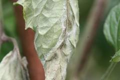 IMG_0020  Solanum lycopersicum (h35312) Tags:  solanum solanaceae lycopersicum img0020 solanales