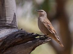 brown treecreeper (Climacteris picumnus)-7169 (rawshorty) Tags: birds australia canberra act gudgenbyvalley rawshorty
