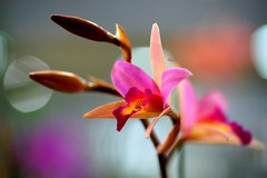 Laeliocattleya Santa Barbara Sunset 'Showtime' /  (nobuflickr) Tags: orchid flower nature japan kyoto   thekyotobotanicalgarden  awesomeblossoms  20150131dsc02581 laeliocattleyasantabarbarasunsetshowtime
