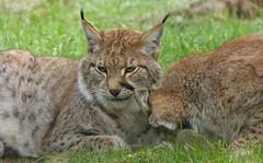 Naturwildpark Granat - Lynxes (joeke pieters) Tags: ngc lynx luchs eurasianlynx lynxlynx platinumheartaward naturwildparkgranat panasonicdmcfz150 1200115