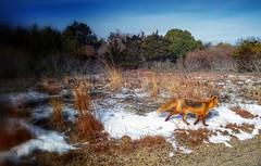 Not Interested (carlson322) Tags: nature animal landscape mammal newjersey fox jerseyshore hdr redfox naturescape islandbeachstatepark