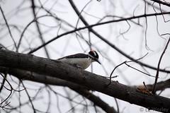 February 15, 2015 - A downy woodpecker in Thornton. (LE Worley)