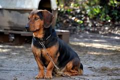 DSC_1464 (auroresb091) Tags: dog chien love friend sweet amour fidèle meilleuramidelhomme