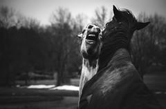 teeth (Jen MacNeill) Tags: horses blackandwhite bw horse playing play teeth biting bite gnashing