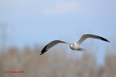 February 1, 2015 - A gull fishes in a Thornton pond. (Ed Dalton)