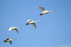 IMG_2947 (Josette Veltman) Tags: swan swans zwaan zwanen kuifeend