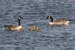Canada Geese with young. (redhead126) Tags: goslings canadageese blackholemarsh