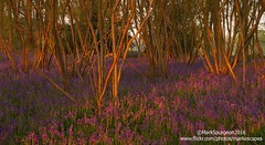Blue Morning 1 ~ (markescapes) Tags: uk morning flowers blue trees flower bluebells sunrise dawn woods norfolk copse coppice ndfilter ndgrad leefilters markspurgeon markescapes wwwflickrcomphotosmarkescapes markspurgeon2016