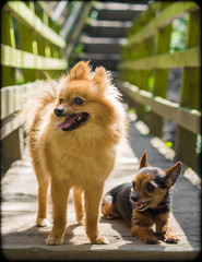 Boo the Pomeranian and Beanz the miniature Yorkshire Terrier. (CWhatPhotos) Tags: photographs photograph pics pictures pic picture image images foto fotos photography artistic cwhatphotos that have which with contain mark 2 omd em10 mk ii olympus esystem four thirds digital camera lens m43 animal pet cute portrait brown sandy coloured colored dog boo pom pomeranian zwergspitz dwarfspitz dwarf spitz pompom thelittledoglaughedportraits small mini miniture terrier yorkshire miniature