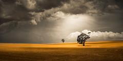 Storm Over Summer Farm (David Dahlenburg) Tags: panorama storm landscape farm pano australia stormy sa gumtree southaustralia stuble dahlenburg