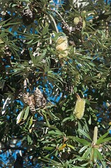 2016-05-18 at 16-12-05 (Mollivan Jon) Tags: newzealand places canterbury lincoln flowering southisland species reproduction cultivated lincolnuniversity banksiaintegrifolia flowercolour taxonomy:kingdom=plantae afzoomnikkor28105mmf3545dif taxonomy:family=proteaceae taxonomy:genus=banksia selwyndistrictcanterburyplains miscellaneouskeywords planttraits flowercolourcream observationaddedtonaturewatchnz photowithassociateddata taxonomy:binomial=banksiaintegrifolia naturewatchnz