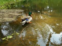 handsome ducky, central park (kusula) Tags: centralpark ducks